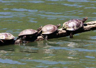 turtle_800x437